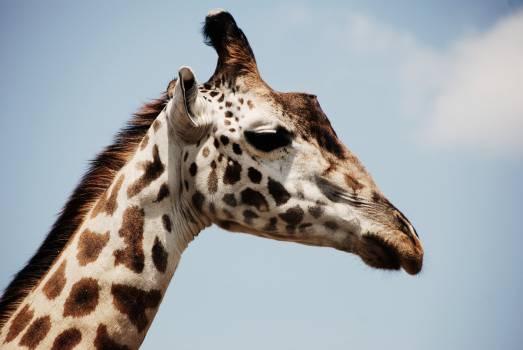 White and Brown Giraffe #41590