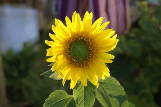 sunflower #415915