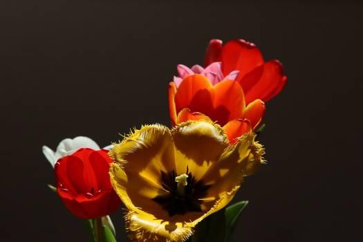 tulip #415958