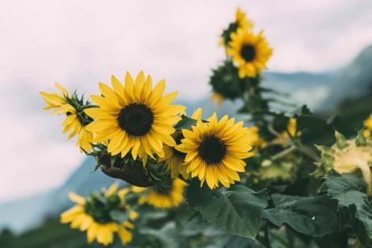 Sunflower Flower Yellow #416033
