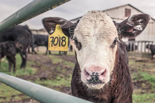 livestock #416257