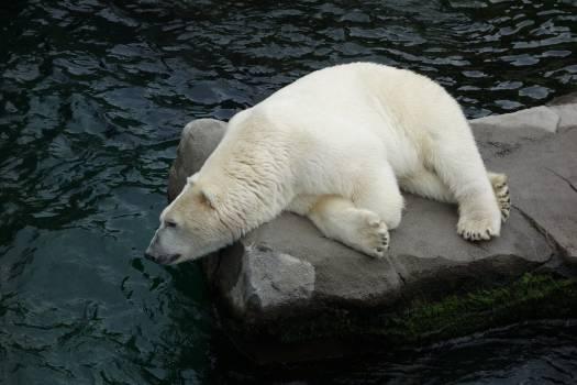 Ice bear Bear Mammal #416430