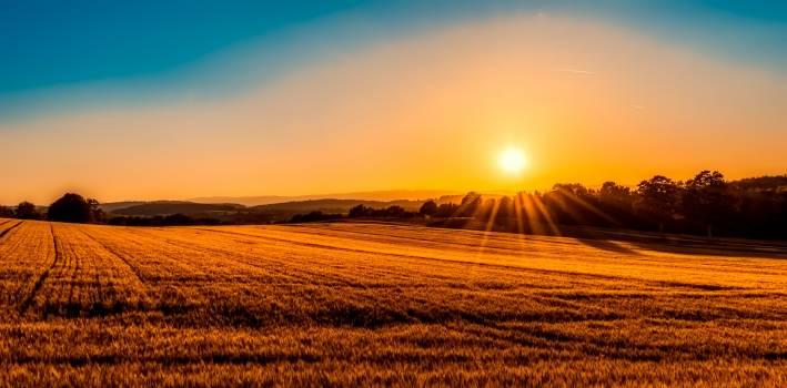 wheat #416439