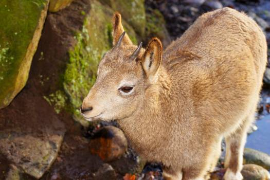 Ibex Wild goat Wildlife #416470