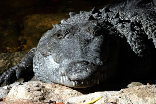 alligator #416536