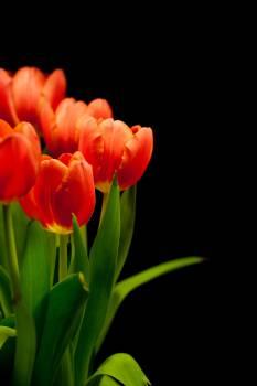 tulip #416583