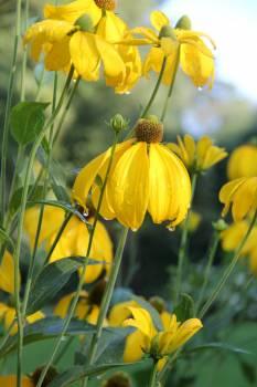 sunflower #416624