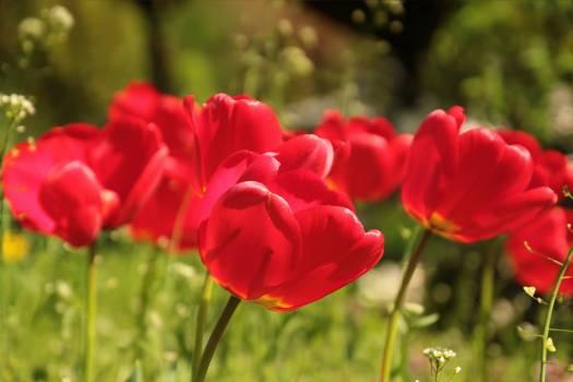 tulip #416625