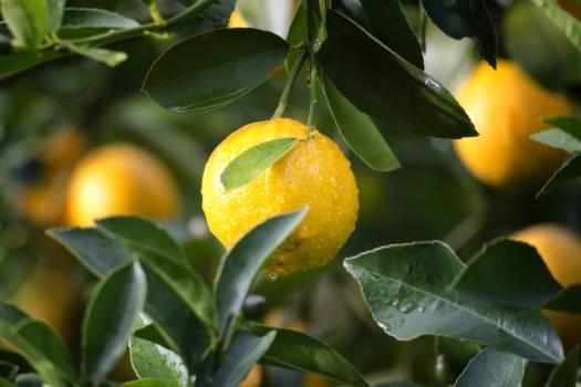 citrus #416687
