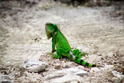 lizard #416765