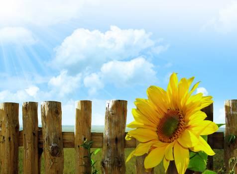Sunflower #416777