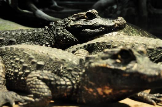 alligator #416793