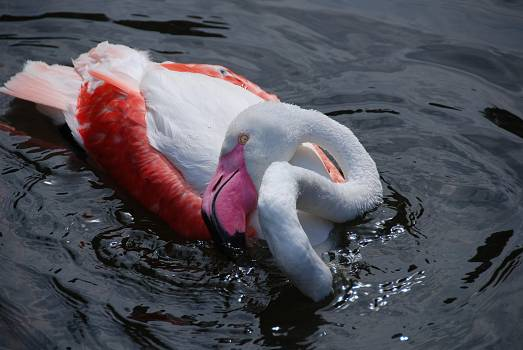White and Red Swan on Body of Water #41684