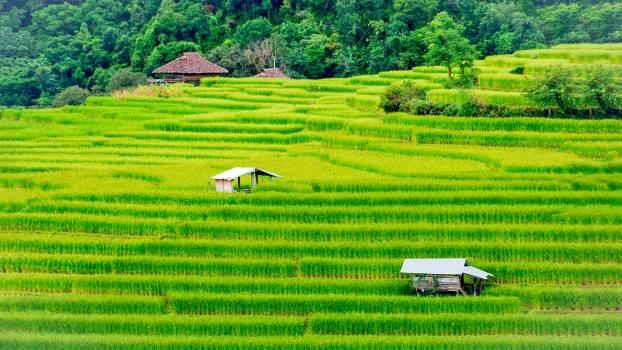 Rice Field Grass #416939