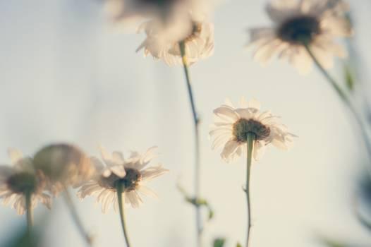 dandelion #417102