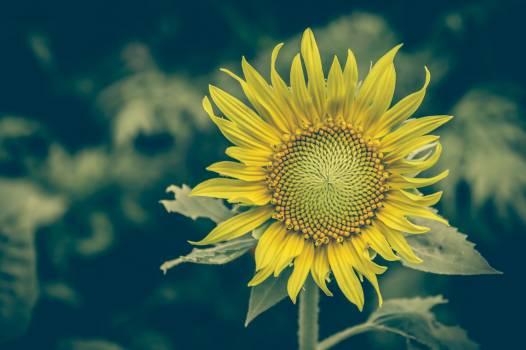 sunflower #417147