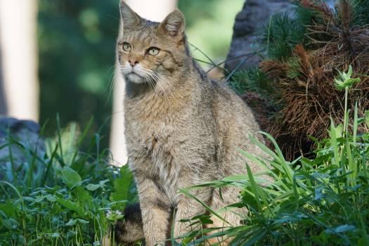 wildcat #417259