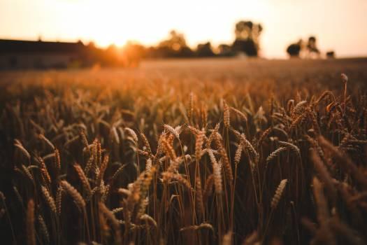 Wheat Field Grain #417271