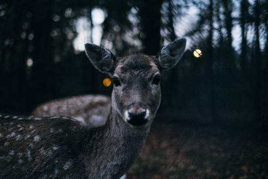 Deer Animal Wildlife #417322