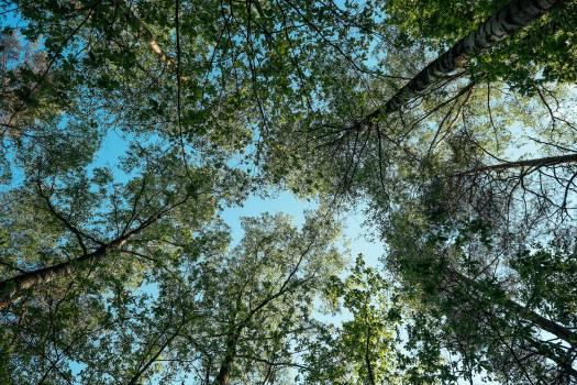 Tree Oak Fir #417325