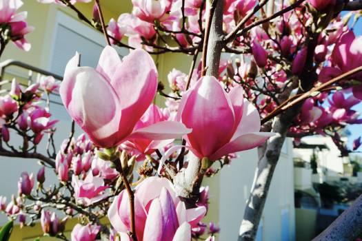 Flower Tulip Pink #417407