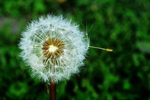 Dandelion Herb Plant #417433