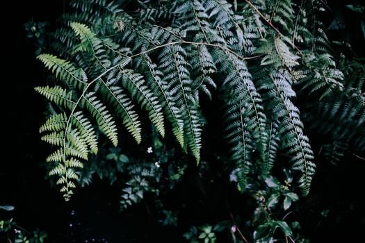 Fern Plant Fir #417581