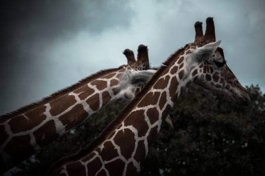 Giraffe Animal Wild #417619