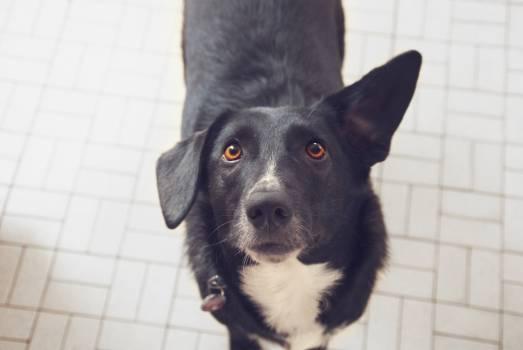 Dog Kelpie Shepherd dog #417627