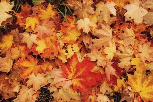 Maple Autumn Leaves #417673