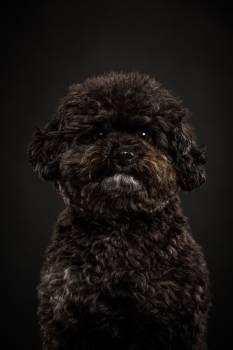 Miniature poodle Dog Poodle #417710