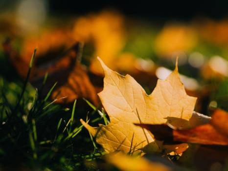 Maple leaf leaves grass #417747