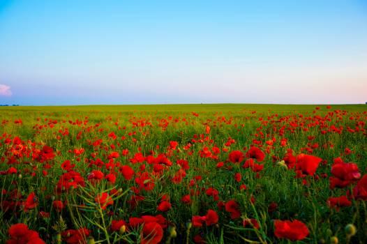 Poppy field #417802