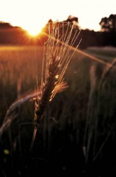 wheat #417850