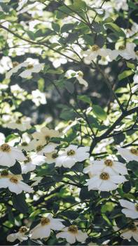 White flowers blooming on a tree mobile screen wallpaper #417960