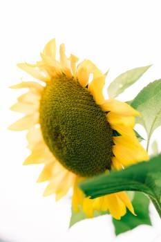 Sunflower Flower Yellow #418003