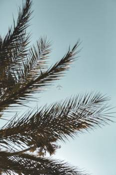 Pine Tree Coconut #418023