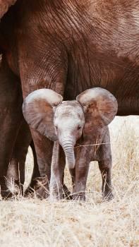 Elephant Calf Mammal #418040