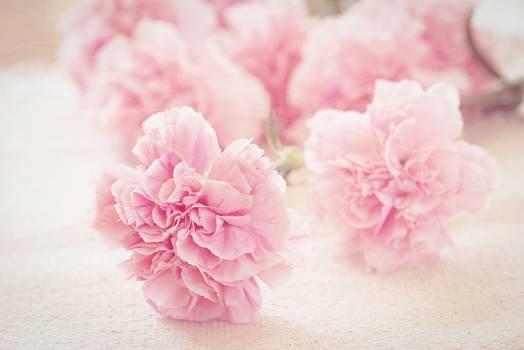 Pink Flower Blossom #418082
