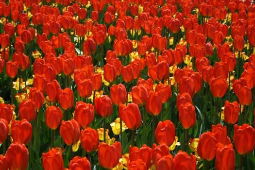 Tulip Tulips Spring #418088