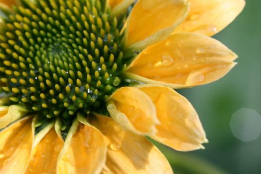 Sunflower Edible fruit Flower #418091