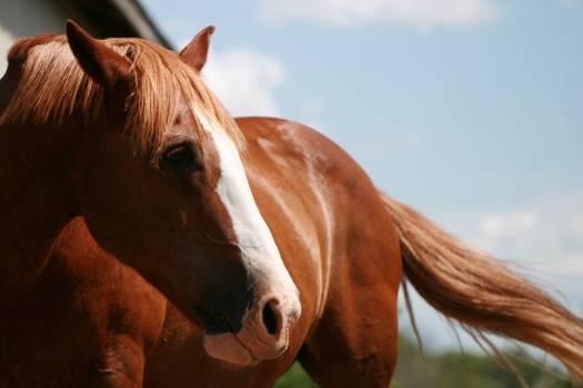 Horse Equine Sorrel #418092