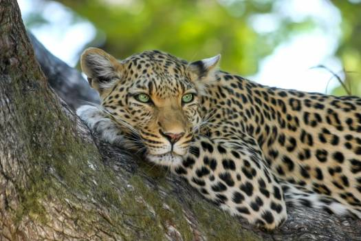 Leopard on Brown Trunk Tree #41813