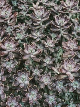 Pinwheel Plant Lilac Free Photo