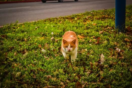 White and Orange Cat Walking on Green Grass during Dayime #41822