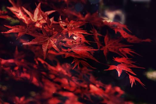Maple Autumn Texture Free Photo