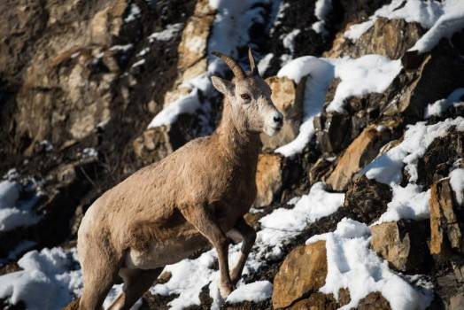 A Mountain Goat Clambers Up A Snowy Slope #418335