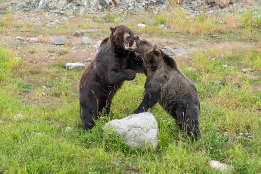 Two Brown Bears Play Fight #418340