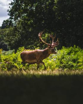 A Majestic Stag In The Afternoon Sun #418344