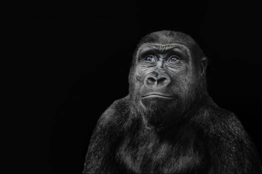 gorilla Free Photo
